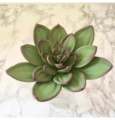 Sugar Flower Succulent with Sweet Savour by Felicia May 26th 10 till 2PM